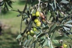 grande_olive